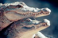 Two Alligators Heads Together
