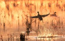 Mallard Duck Lifts Off At Sunr...