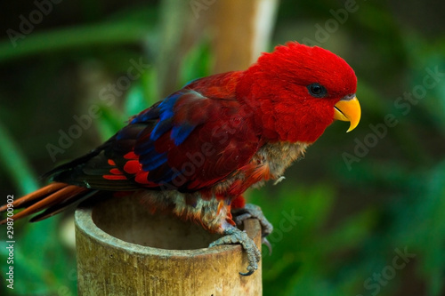 beautiful Black-capped lory parrot on tree branch, close view