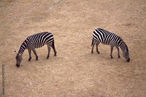zebra grazing on sandy surface in reserve
