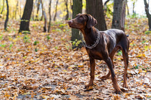 Brown Doberman On A Walk In Th...