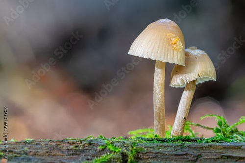 Photo Bell shaped fungi (mycena) growing on moss covered dead tree branch trunk