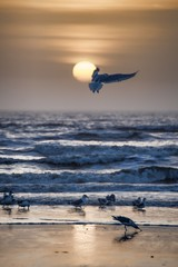 Obraz na SzkleBeautiful seabirds wandering on the seashore with crazy sea waves and the sun in the background