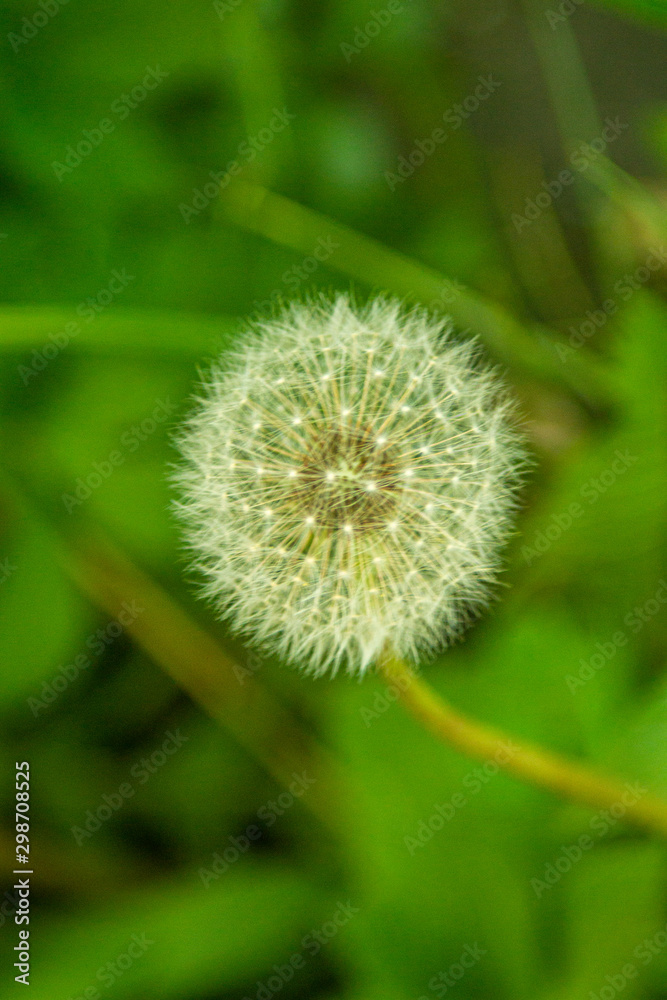 dandelion on background of green grass