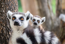 Lemur And Their Baby