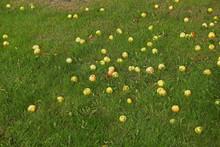 Lots Of Fallen Apples On Green...