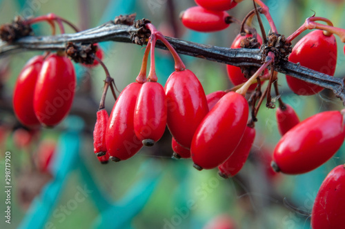 A branch of barberry with red berries on an autumn day, photographed close-up Wallpaper Mural