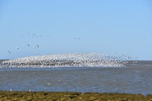 A View Of Hundreds Of Snow Geese Taking Off From The Shallow.   Richmond BC Canada