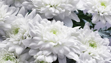 Background Of White Chrysanthe...