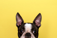 Creative Portrait Of A Boston Terrier Dog With Big Ears On A Yellow Background. Minimalism. Copy Space.