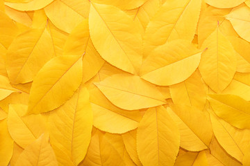 Background from autumn fallen leaves close-up. The texture of the yellow foli...