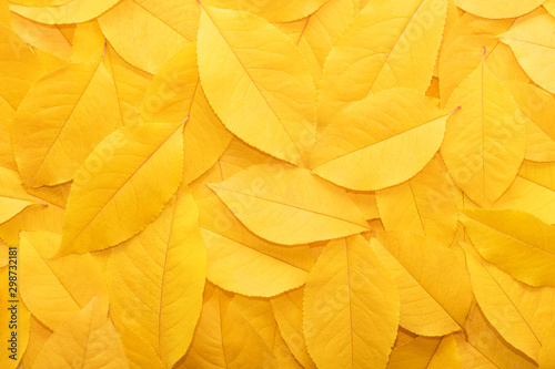 Fototapeta Background from autumn fallen leaves close-up. The texture of the yellow foliage. obraz