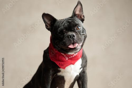 Spoed Fotobehang Franse bulldog french bulldog wearing red bandana sitting with no occupation