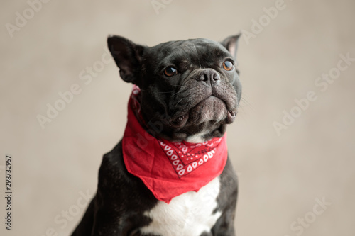 french bulldog wearing red bandana sitting and looking away