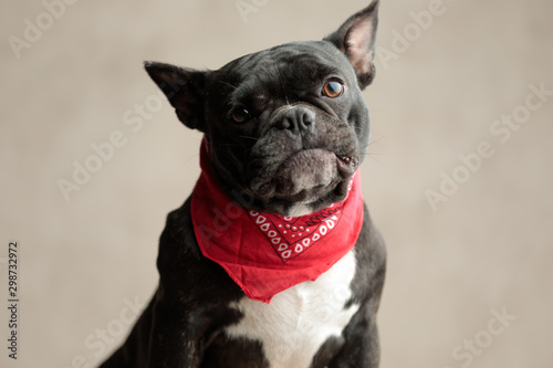 french bulldog wearing red bandana sitting and staring at camera