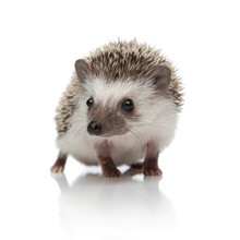 Cute African Hedgehog Walking ...