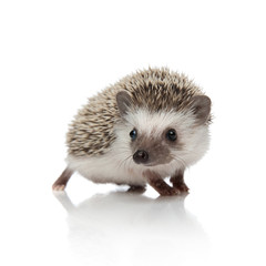 adorable african hedgehog walking and looking to side