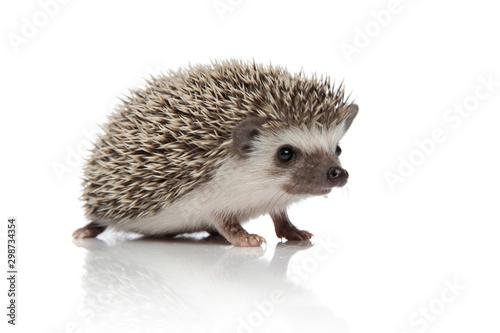 Photo cute african hedgehog walking on white background