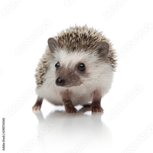 Photographie cute african hedgehog walking and looking to side