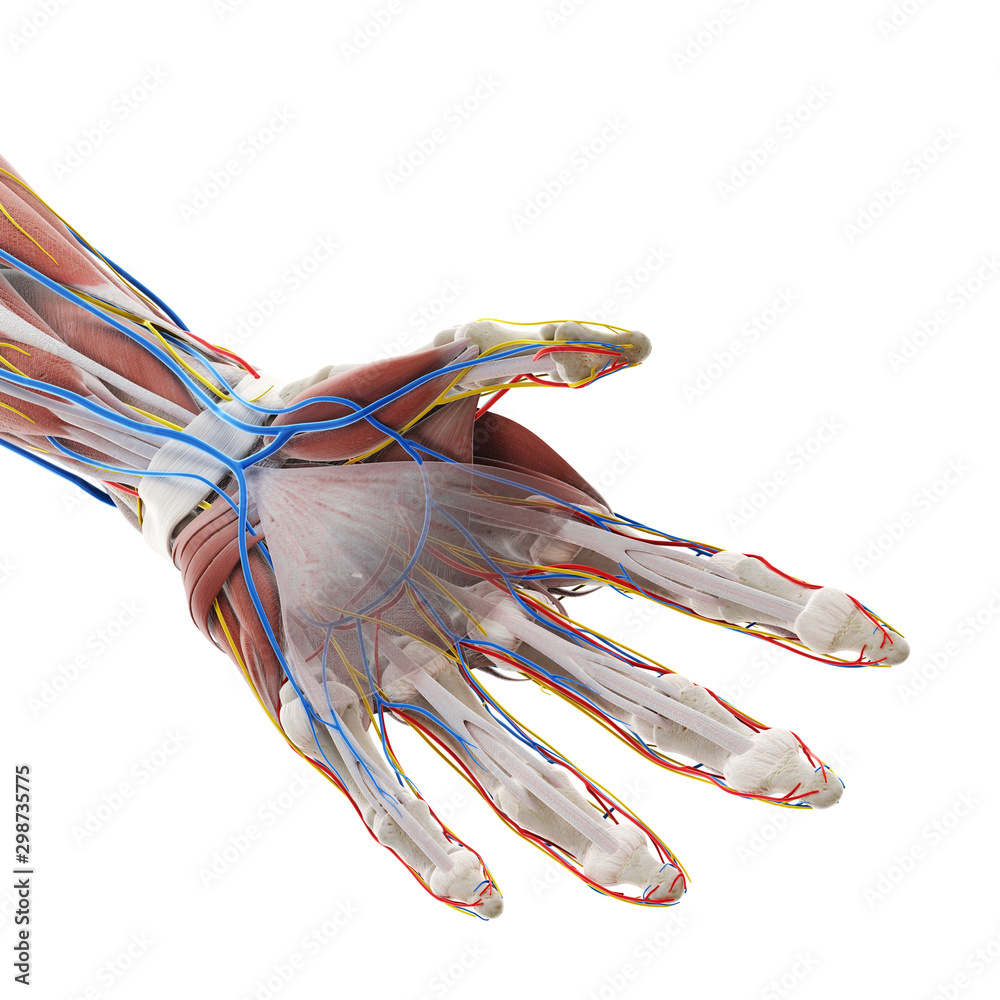 Fototapeta 3d rendered medically accurate illustration of the anatomy of the hand