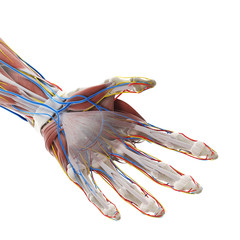 Obraz na płótnie Canvas 3d rendered medically accurate illustration of the anatomy of the hand