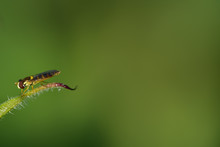 A Little Hoverfly Sits On The ...