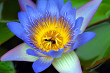 Bee Inside Water Lily