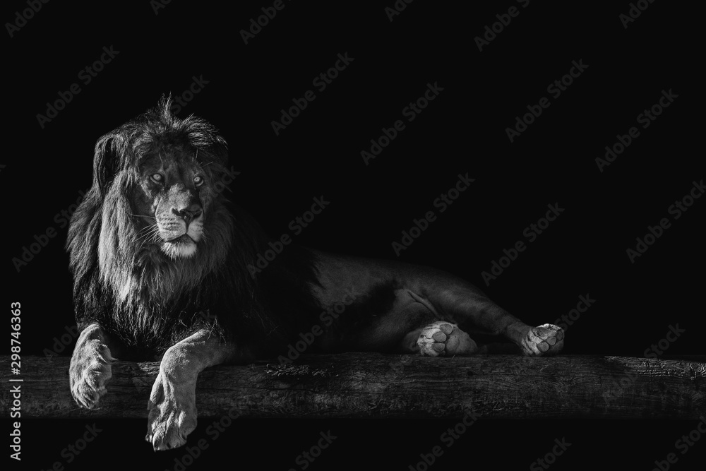 Fototapeta lion lies on a log, isolate on a black background, place for text