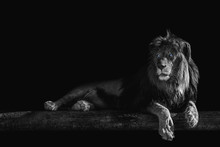 Lion Lies On A Log, Isolate On A Black Background, Place For Text
