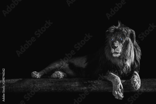 lion lies on a log, isolate on a black background, place for text Wallpaper Mural