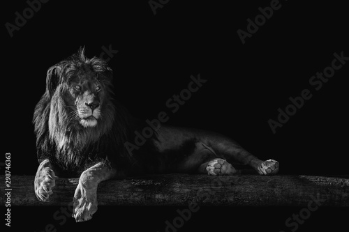 Pinturas sobre lienzo  lion lies on a log, isolate on a black background, place for text