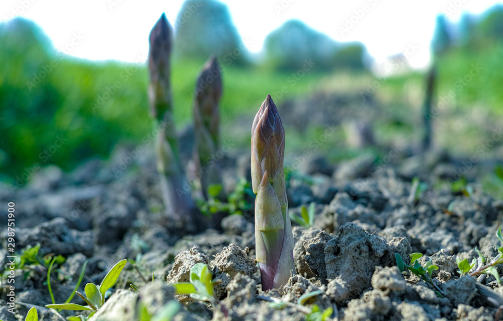 Fototapety, obrazy: Ripe organic green asparagus growing on farmers field ready to harvest