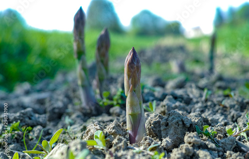 Door stickers Garden Ripe organic green asparagus growing on farmers field ready to harvest