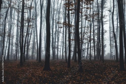 Foto auf Gartenposter Grau Verkehrs tall trees in fog in forest