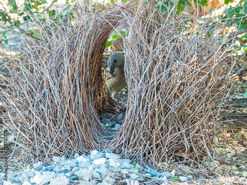 Cuadros en Lienzo Great Bowerbird with his Bower