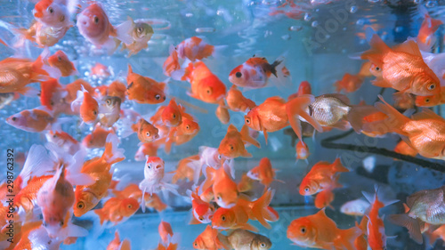 Photo A herd of small ornamental fish in a clear aquarium