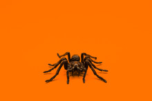 Single Real Tarantula Spider On Orange Background. Creepy Halloween Concept With Blank Space For Text.