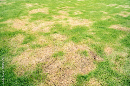 Obraz na plátně Pests and disease cause amount of damage to green lawns, lawn in bad condition a