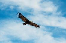 Andean Condor (Vultur Gryphus) In Flight, Andes Mountain Range, Colca Canyon, Arequipa, Peru.