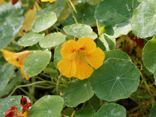 Close-up On Tropaeolum Majus Or Indian Cress With Yellow Stained With Red Bright Petals Between Great Rounded, Lobed, Veined, Green Leaves
