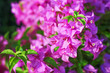 Leinwanddruck Bild - Colorful bright pink bougainvillea flowers patterns blooming in nature garden background