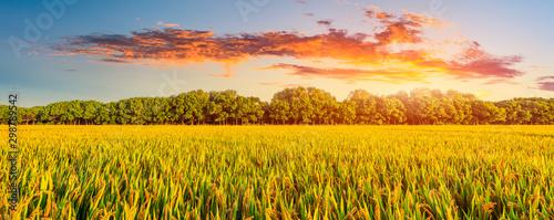 Fotografia Yellow paddy field and beautiful sky at sunset