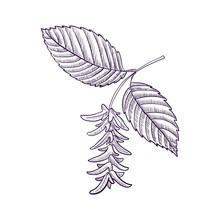 Vector Drawing Branch Of Hornbeam Tree
