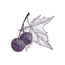 Vector Drawing Branch Of Plane Tree