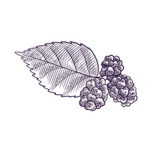 Vector Drawing Branch Of Muldberry Tree