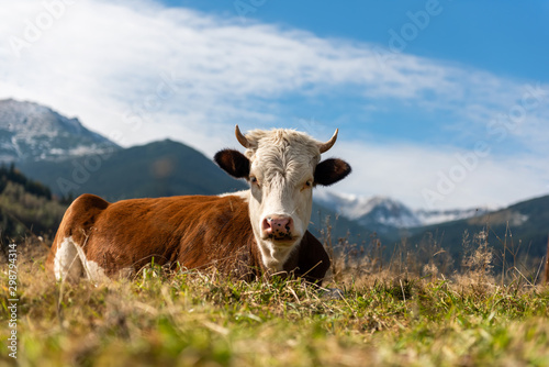 Aluminium Prints Cow Brown cow on pasture in mountains