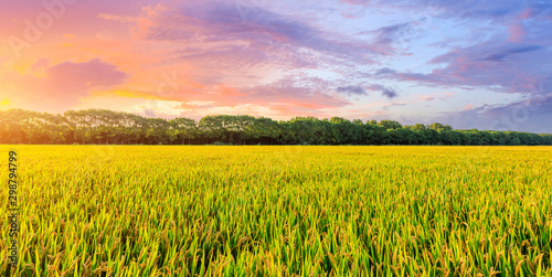 Montage in der Fensternische Orange Yellow paddy field and beautiful sky at sunset