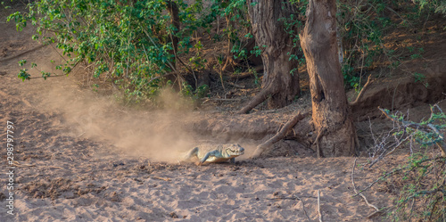 Large crocodile racing down a dry river bank towards the safety of the water ima Canvas Print