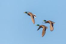 Three Male Mallard Ducks (anas...