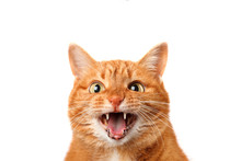 Crazy Ginger Cat Crying Isolat...
